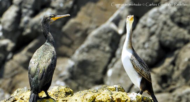 Anillamiento de cormoranes moñudos en la isla de Escombreras – ECOMED – Universidad de Murcia