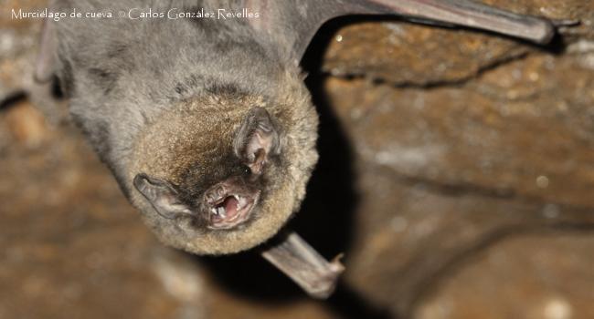 Concentraciones de mercurio en murciélagos de cueva
