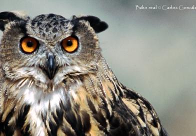 Conservación del búho real dentro y fuera de áreas protegidas