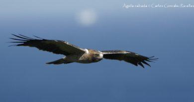 Monografía SEO sobre el águila calzada