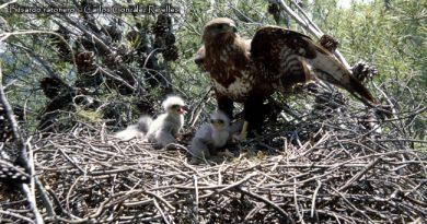 Nidos de rapaces forestales y gestión forestal
