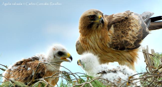 Polimorfismo de color en el águila calzada