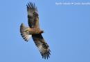 Apareamiento selectivo en el águila calzada