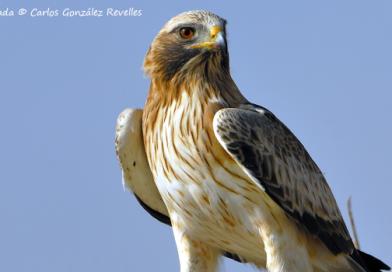 Seguimiento de una población de águila calzada durante 18 años